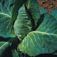 Cabbage Greyhound - Appx 700 seeds